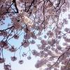 桜の園,新宿御苑,散り際 cherryblossom