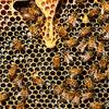 【TOCANA】【ガチ】絶滅しかけのミツバチを今救わないと、人類は4年で滅ぶ?アインシュタインが警告?