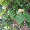 一輪の椿の花とコロナウィルス