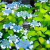 京都・東山 - 建仁寺霊源院 甘露の庭 見納めです。