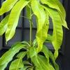 マンゴーの種蒔きw