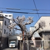 いつのまにやら桜の季節