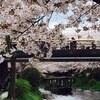 伏見 宇治川派流の桜