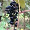 秋の実:ブドウとゴボウ