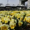 ぐんまフラワーパーク(3月下旬~4月)|桜など春の花が咲いていた:群馬県前橋市