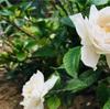 幸せを運ぶ クチナシの花