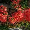近所のヒガンバナが咲きはじめた
