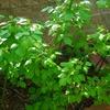 インデアンサマーの花芽がでてきました。