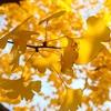 秋に色付くイチョウが街路樹になっている3つの理由とは?