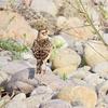 鳥撮り@多摩川(稲城長沼)ヒバリ、ウグイス、ツバメの巣材集め♪