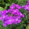 サントリーのグランドカバー「タピアン」を育ててみた! 花期が長く、元気に繁殖!