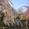 2018年3月25日は桜満開!このエリアでは10日早く咲く愛知県一宮市138タワーパーク周辺!