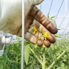 【農業体験】 ホルモン処理&ミニトマトの収穫