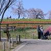 《緊急告知2》60万本の「チューリップフェア」開催 他の花も沢山 【馬見24】
