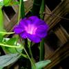 やっと咲いた我が家のアサガオ