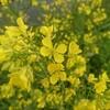 ジョギングで季節の花を愛でる ~神戸町の菜の花~