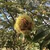 栗収穫の季節