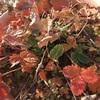 #15 四季なりイチゴ 紅葉&冬越し