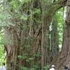 千畳敷海岸・日本一の北金ケ沢の大イチョウ・樹齢千年関の杉と五能線!青森観光、家族旅行のまとめ。