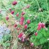 サンギソルバ・カンシャンクランベリィが咲き乱れる。