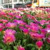 2012/04/24 街角の花壇 小倉駅前交差点のノースポールと松葉菊