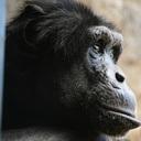 チンパンジー言語訓練ブログ