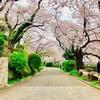 横浜桜木町周辺をお花見してきました!