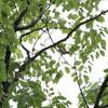 ムシクイとモズとカワセミと(大阪城野鳥探鳥 2015/07/11 4:45-9:25)