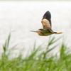 印旛沼の葭原を飛ぶヨシゴイ