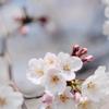 稲沢市平和町の桜ネックレス。