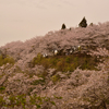 正福寺山公園と野呂山 ラスト桜