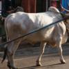 【投資無関係】インドの牛のはなし