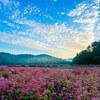 八幡高原の赤蕎麦を撮る