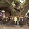 三島神社の薫蓋樟(大阪府門真市)