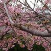 近くの河津桜