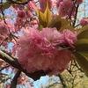 八重桜が見頃です(*^^*)