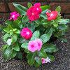 9月の「みやがせ花の日」の花はニチニチソウ