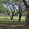 コキンバイザサ 公園の木の下に