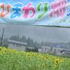 雨のひまわり畑・・