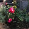葡萄紅 再び庭へ