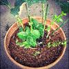 紫陽花植え替えしました
