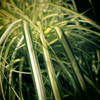 混乱の斑入り植物たち