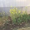 庭の菜の花