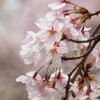 龍峰寺の桜、ジェベル200
