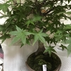 新幹線と盆栽と特食と