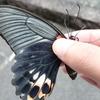 最大サイズのアゲハチョウ!