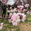 札幌で春を感じるおすすめお花見スポット