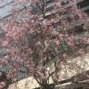 紀尾井町の枝垂桜