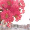マゼンタピンクの百日紅(サルスベリ)が咲く街路樹、夏の湘南をおフランス風(?)に♪