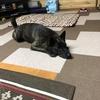 甲斐犬サン、弱り目に祟り目のネェネを狙うの巻〜|ω・)ミテマスヨ